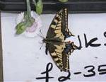 Swallowtail Butterfly, National Trust, Norfolk