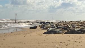 Horsey, Seals, North Norfolk
