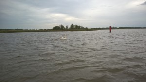 Swans, Cygnets, Birdwatching, Hickling, The Broads