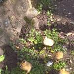 ducklings, spring, Norfolk