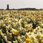Daffodils, Spring. Norfolk