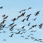 Geese; twitchers; birding; norfolk; holidays