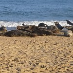 Seals at Horsey